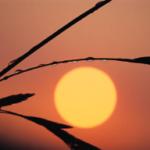 Sun Leaf image
